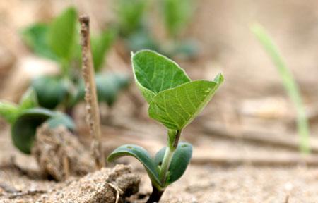 2009年梅雨時期の有機大豆播種