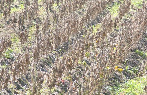 2009年12月オーガニック大豆の刈り取りが始まります