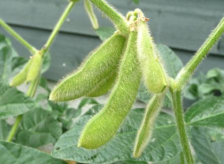 2009年8月の幸運の大豆