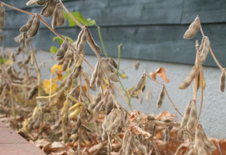 2009年9月28日幸運の大豆の収穫も間近?