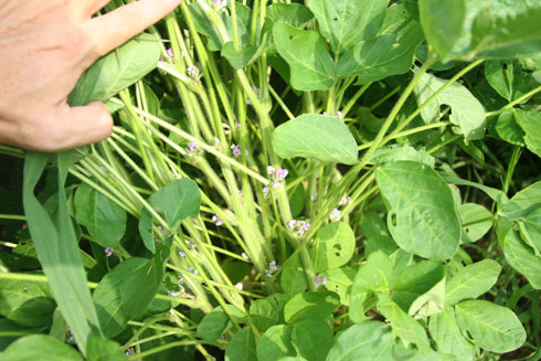 2009年夏 有機農場のオーガニック大豆